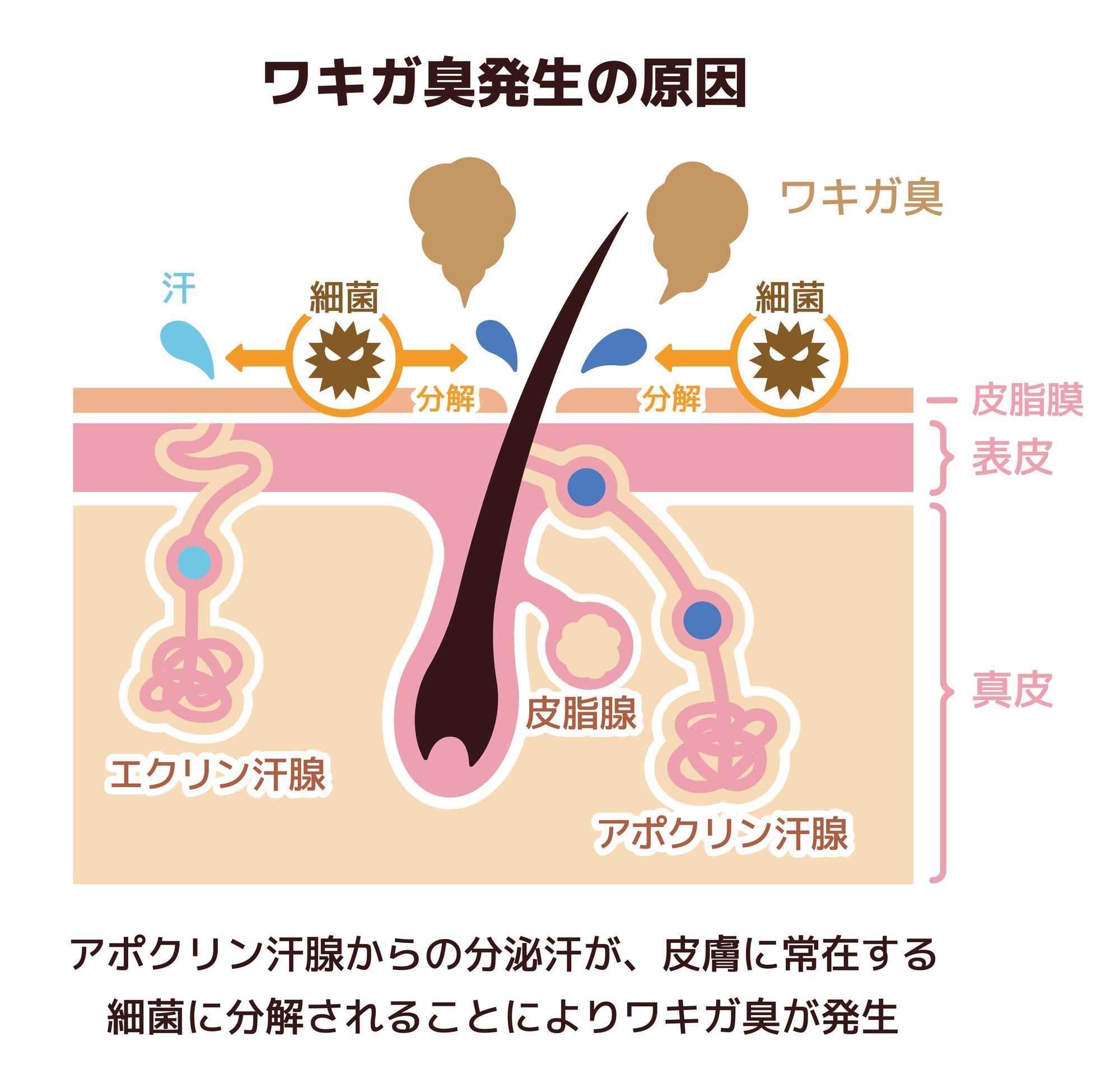 アポクリン汗腺のイラスト